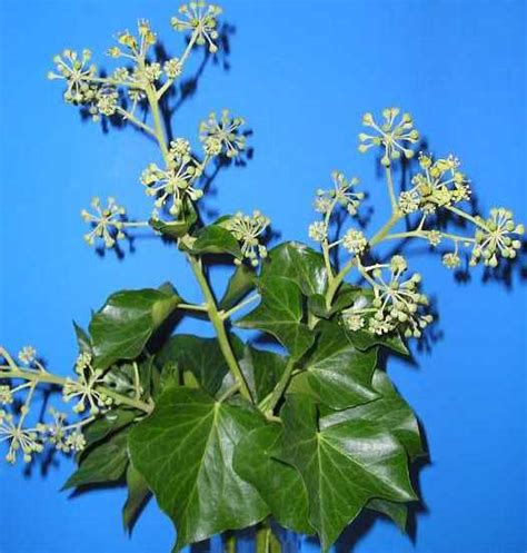 English ivy identification and control: Hedera helix